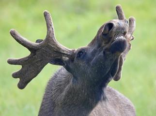 Portrait of a roaring Moose bull (Alces alces) 02