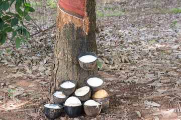 Rubber tree and cup