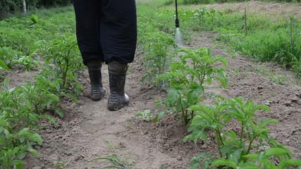 closeup farmer man spray pesticide on potato plants fight vermin