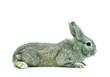 canvas print picture - Junges Kaninchen von der Seite, freigestellt