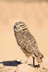 Burrowing Owl with the Serious Look
