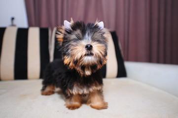 Puppy Yorkie