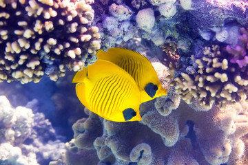 Maskenfalterfische - Bluecheek butterflyfish and coral