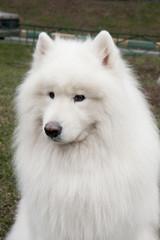 Собака Самоедская лайка.