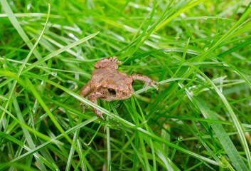 Baby-Kröte im Gras nach Regen