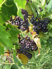 Red grapes in a vineyard