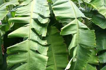the image of banana leaves