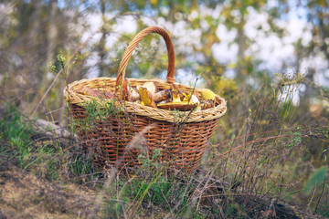 Full basket of mushrooms on the forest glade