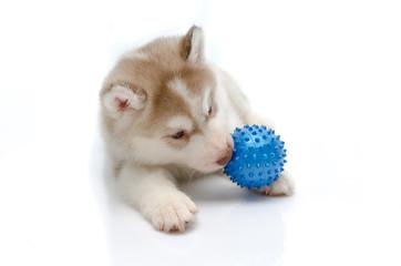 Siberian husky playing with a ball