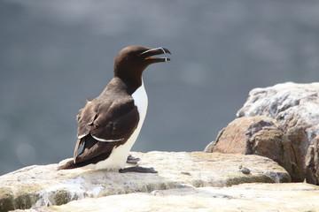 gazza marina alca torda uccello marino mare del nord