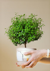 young myrtle a potted plant