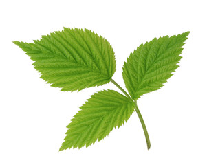 Green leaf of raspberry isolated on white