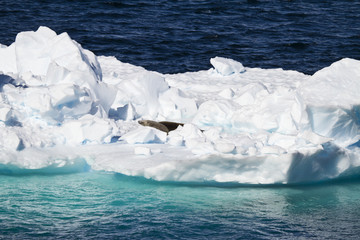 Antarctic Seals - Crabeater Seals Group On An Iceberg