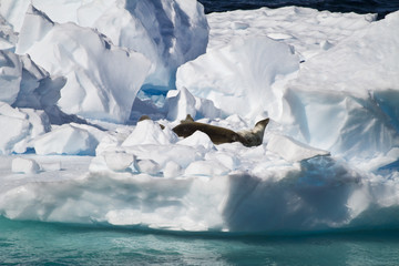 Antarctica - Crabeater Seals Group On An Iceberg
