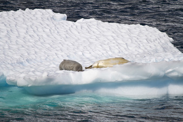 Antarctica - Seals Resting On An Ice Floe