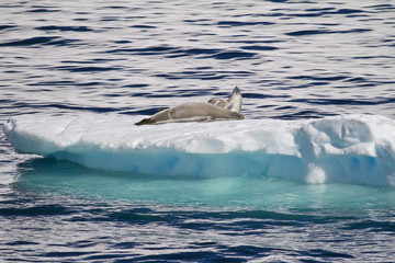 Antarctica - Antarctic Seals - Crabeater Seals On An Ice Floe