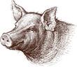 Pig - 69548645
