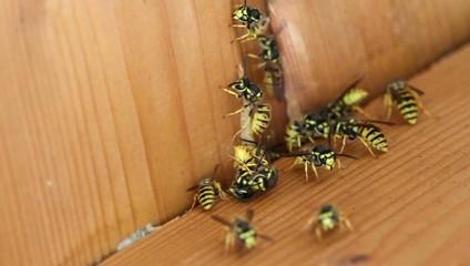Wespennest / wasp nest entrance