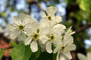 branch of blossoming pear