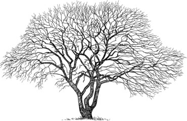 silhouette of the old tree