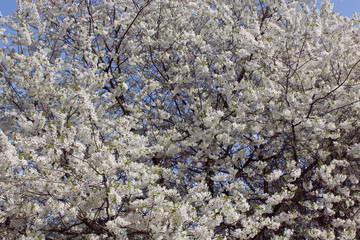 blossoming tree of cherry