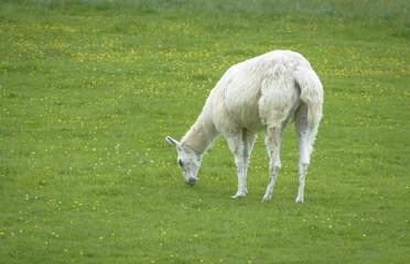 Hairy White Alpaca Eating grass