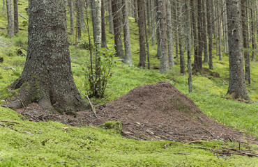 Anthill in coniferous forest