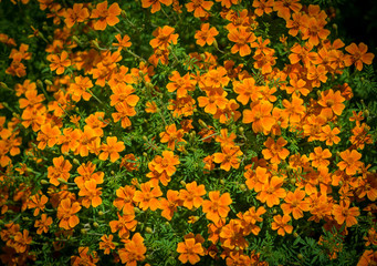 In the garden on a sunny day. Orange flowers. Selective focusю
