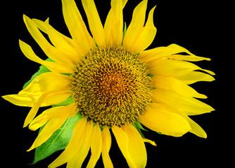 Sunflower close-up. Selective focus.