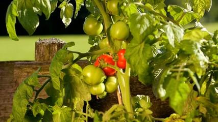harvesting tomatoes in the garden