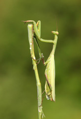 Praying Mantis insect in nature
