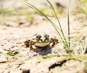 лягушка в природе