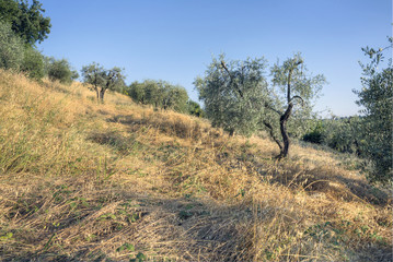 Olive trees2