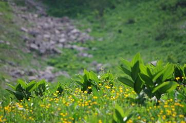 prairie de montagne - alpage au printemps