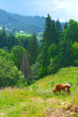 Cow grazing on mountain meadow