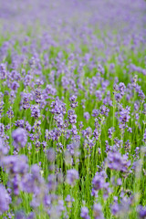 Summer lavender flower field, can be used as background