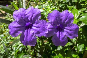 Two Ruellia Tuberosa Flowers.