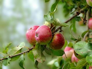 rote Äpfel am Baum