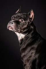 Portrait of american staffordshire terrier on black background