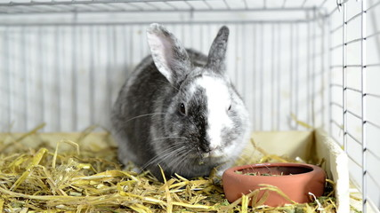 Small Grey Rabbit is eating (close-up video in a cage)