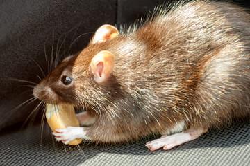 rat eating cake