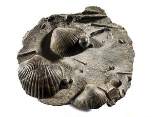 Fósil de Panecas y Belemnite del jurásico