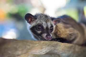 Asian Palm Civet - animal who produce coffee Kopi luwak