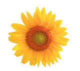 Sunflower yellow flower
