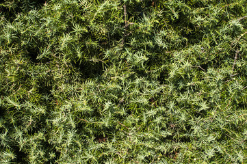 Green juniper bush leaves closeup as background