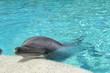 canvas print picture - Delphin