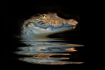 portrait alligator