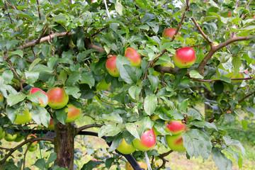 Apfelbaum in Österreich