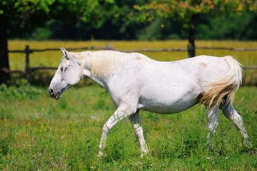 Lipizzaner mare on the pasture