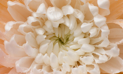 Orange Dendranthemum flower macro closeup.